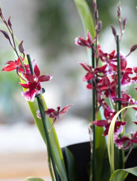 Orchidee Cambria Barokko in Rot